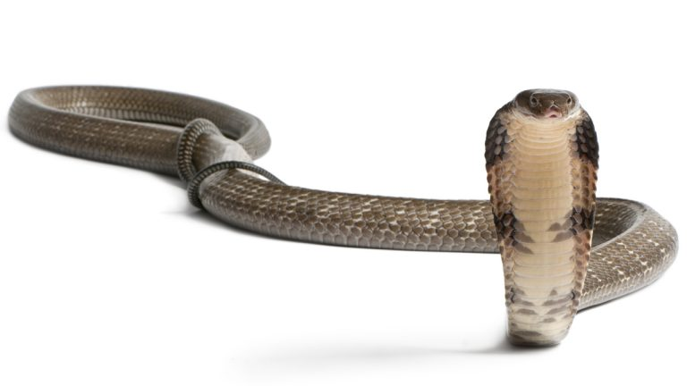 (<a href='http://www.shutterstock.com/pic-97140083/stock-photo-king-cobra-ophiophagus-hannah-poisonous-white-background.html'>King cobra image</a> courtesy of Shutterstock.com)