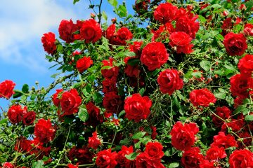 (<a href='http://www.shutterstock.com/pic-70216156/stock-photo-red-roses-on-sunny-sky-background.html?src=csl_recent_image-1'>Rosebush</a> image courtesy of Shutterstock.com)