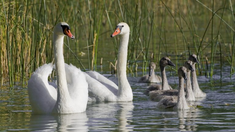 Seven swans a'swimming. (<a href=