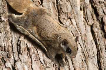 (<a href='http://www.shutterstock.com/pic-203464201/stock-photo-southern-flying-squirrel-clinging-to-a-tree-at-night-in-southeastern-illinois.html'>Flying squirrel</a> image courtesty of Shutterstock.com)