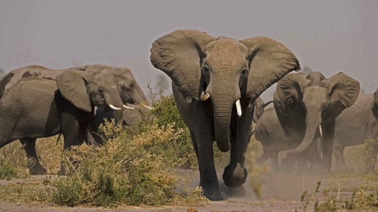 A photo of elephants charging