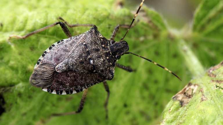 Stink bug (AP Photo/Matt Rourke)