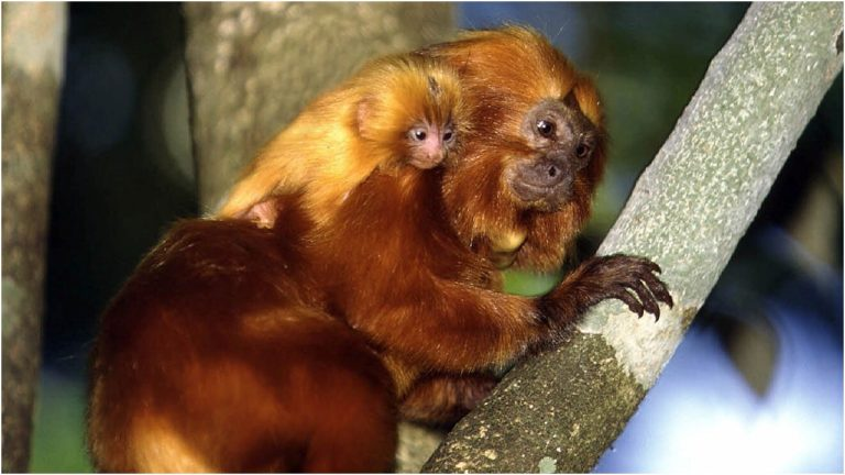 Golden lion tamarins (AP Photo/HO, Juan Pratingestos, World WildlifeFund Brazil)