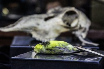Rev. Bachman's Warbler on display at the Academy of Natural Science's The Clergy and the Academy's Collections. (Kimberly Paynter/WHYY)