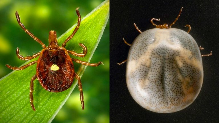 Researchers say the expansion of lone star tick populations might be spreading a mild form of spotted fever that is being confused with the more serious disease. Pictured here are dorsal views of a female lone star tick, Amblyomma americanum, including an engorged female (right). (Photo by James Gathany and CDC/ASTMH)