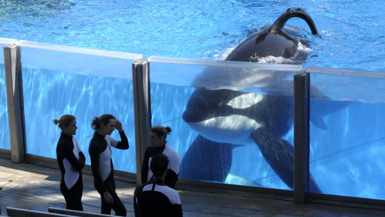 Orca Tilikum watches his trainers from a tank at Sea World's Shamu Stadium in Orlando, Fla.. (AP Photo/Phelan M. Ebenhack, file)