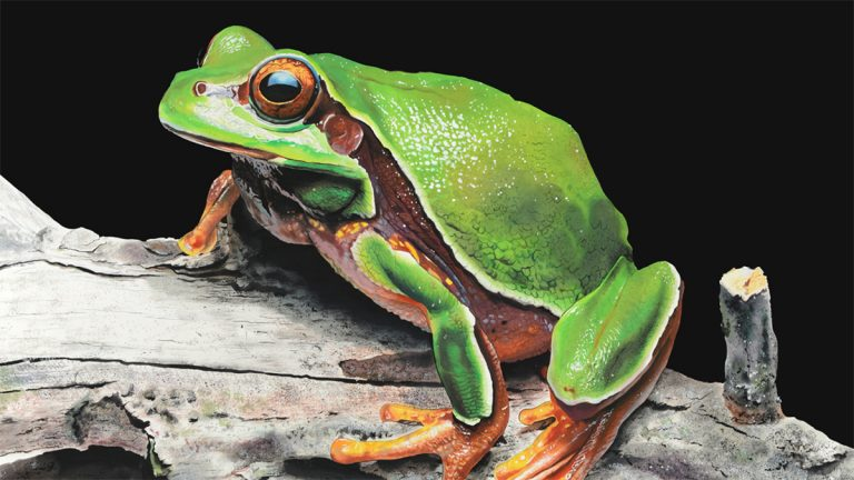 Green Tree Frog in watercolors by Painter James Fiorentino (Image courtesy of the Conserve Wildlife Foundation)