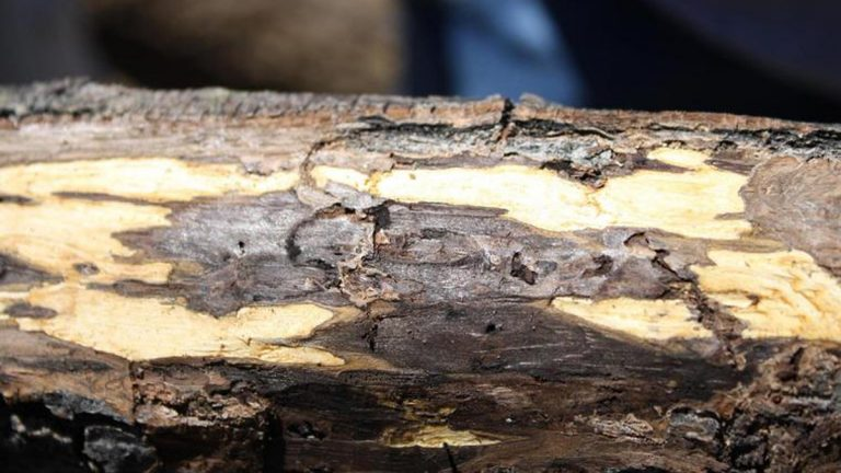 Thousand cankers disease makes its mark on black walnut trees. (Photo courtesy of Grant Jones)