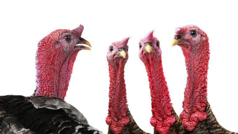 (<a href='http://www.bigstockphoto.com/image-152195636/stock-photo-portrait-turkeys-isolated-on-white-background%2C-studio-shot'>bazil8</a>/Big Stock Photo)