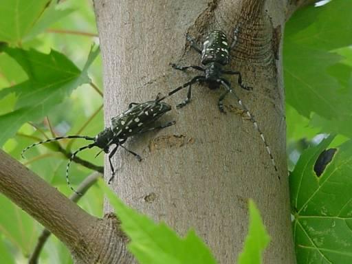 Asian longhorned beetles (Image courtesy of USDA)