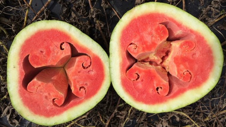 An example of hollow heart disorder in watermelons. (Image courtesy of University of Delaware)