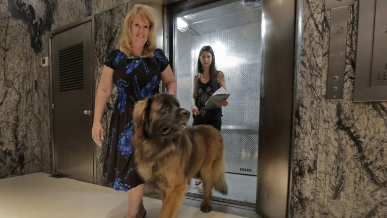 Morgan Avila, left, walks Magnito, a Leonberger, as he's evaluated by Sarah Fraser, when he leaves an elevator during a demonstration of an urban canine good citizen test for city dogs in New York. (AP Photo/Richard Drew)