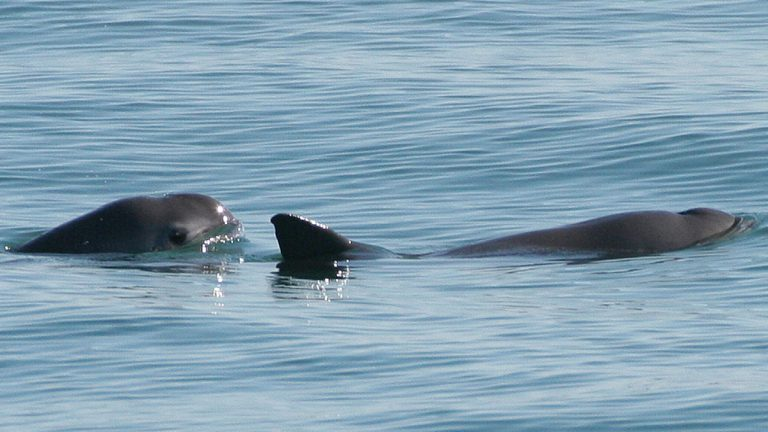 The vaquita is a critically endangered porpoise species endemic to the northern part of the Gulf of California. (Photo via NOAA)