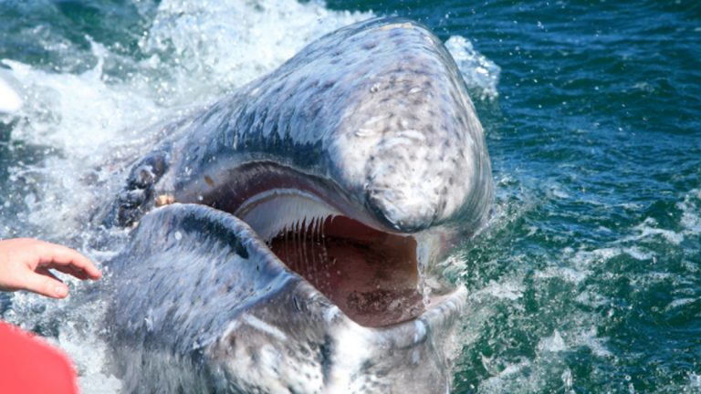 Baleen can provide insight into the last 10 to 15 years of a whale's life. (Flicker.com)