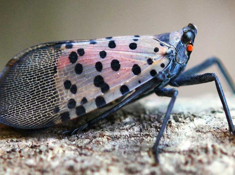 The spotted lanternfly is spreading through Southeast Pennsylvania. It was spotted for the first time in the United States in Berks County. (Pennsylvania Department of Agriculture)