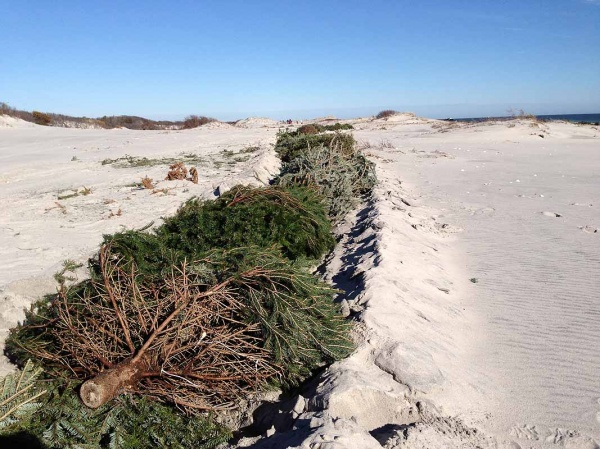 Island Beach State Park - April 2013: In January, volunteers placed thousands of discarded Christmas trees in trenches to help reestablish dunes that were destroyed during Superstorm Sandy. (Sandy Levine/for NewsWorks)