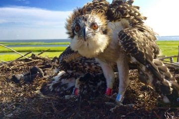 A little teaser of what's to come later in this gallery. This is a curious osprey nestling looking directly into the camera of CWF's Ben Wurst. (Justin Auciello for WHYY)