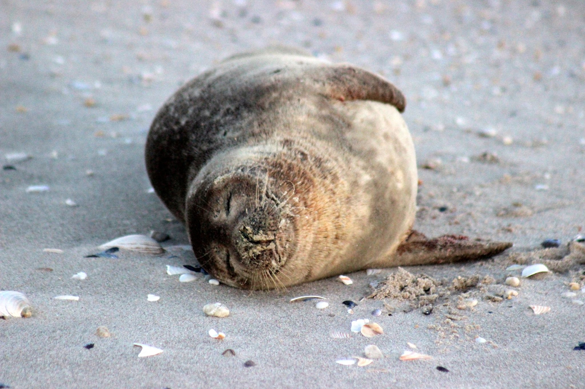 As Seals Arrive At N J Beaches Experts Say To Stay Away