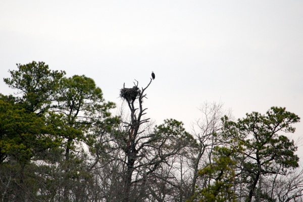 <p><p>Across one of the marshlands, a bald eagle protects the nest it built on the land. (Nathaniel Hamilton/for NewsWorks)</p></p>