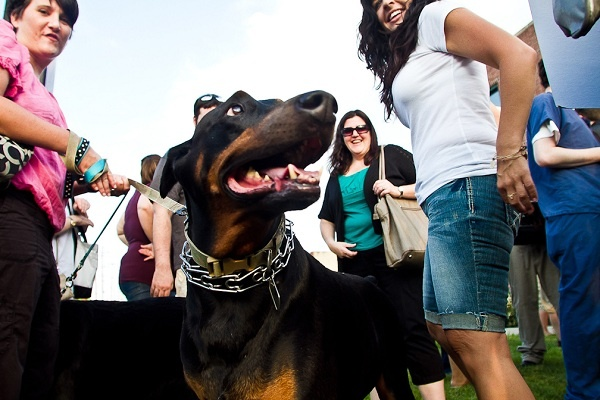 <p><p>13. Panzer, a doberman pinscher, gets some extra attention at the Justice for Chloe and Hercules rally against animal abuse at the PSPCA headquarters in North Philadelphia. (Brad Larrison/For NewsWorks)</p></p>