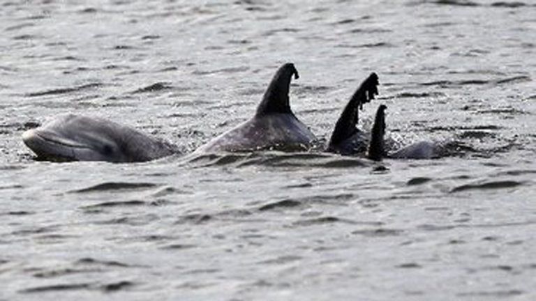 Dolphins swim in the Navesink River near Red Bank in this 2012 file photo.Ed Murray/The Star-Ledger