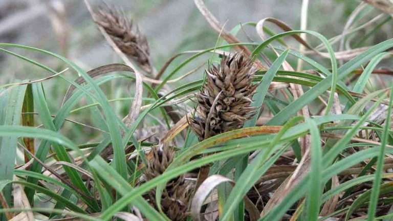 The dense root system of Carex kobomugi ​​​​​​​helps stabilize dunes. (Photo from Wikimedia, CC, uploader anonymous)