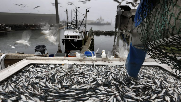 In this July 8, 2015 photo, herring are unloaded from a fishing boat in Rockland, Maine. (AP Photo/Robert F. Bukaty)