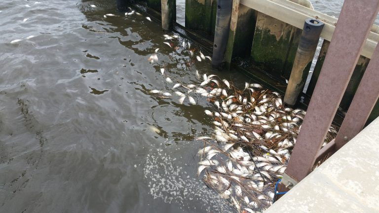 Dead fish floating along a bulkhead along the Navesink River in Red Bank. (Photo courtesy of NJDEP)