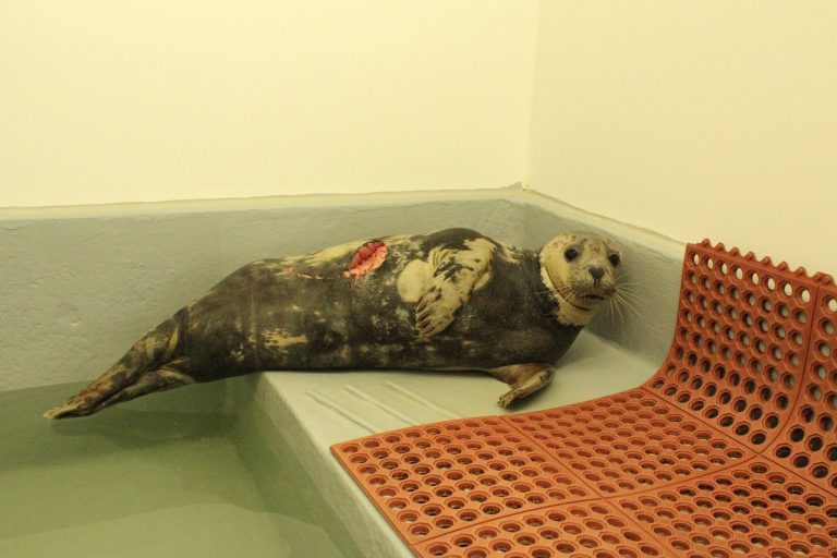 The seal discovered at Sandy Hook on Wednesday. (Image: Marine Mammal Stranding Center)