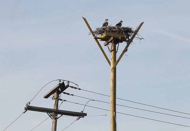 An osprey pair in a new nest near a utility pole. (Image courtesy of JCP&L)