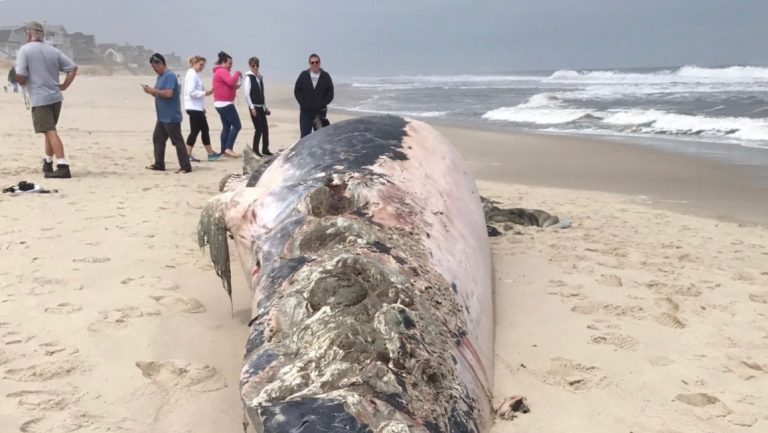 A dead whale ashore in Ocean County's Chadwick Beach Wednesday afternoon. (Image: Andrew Pero)