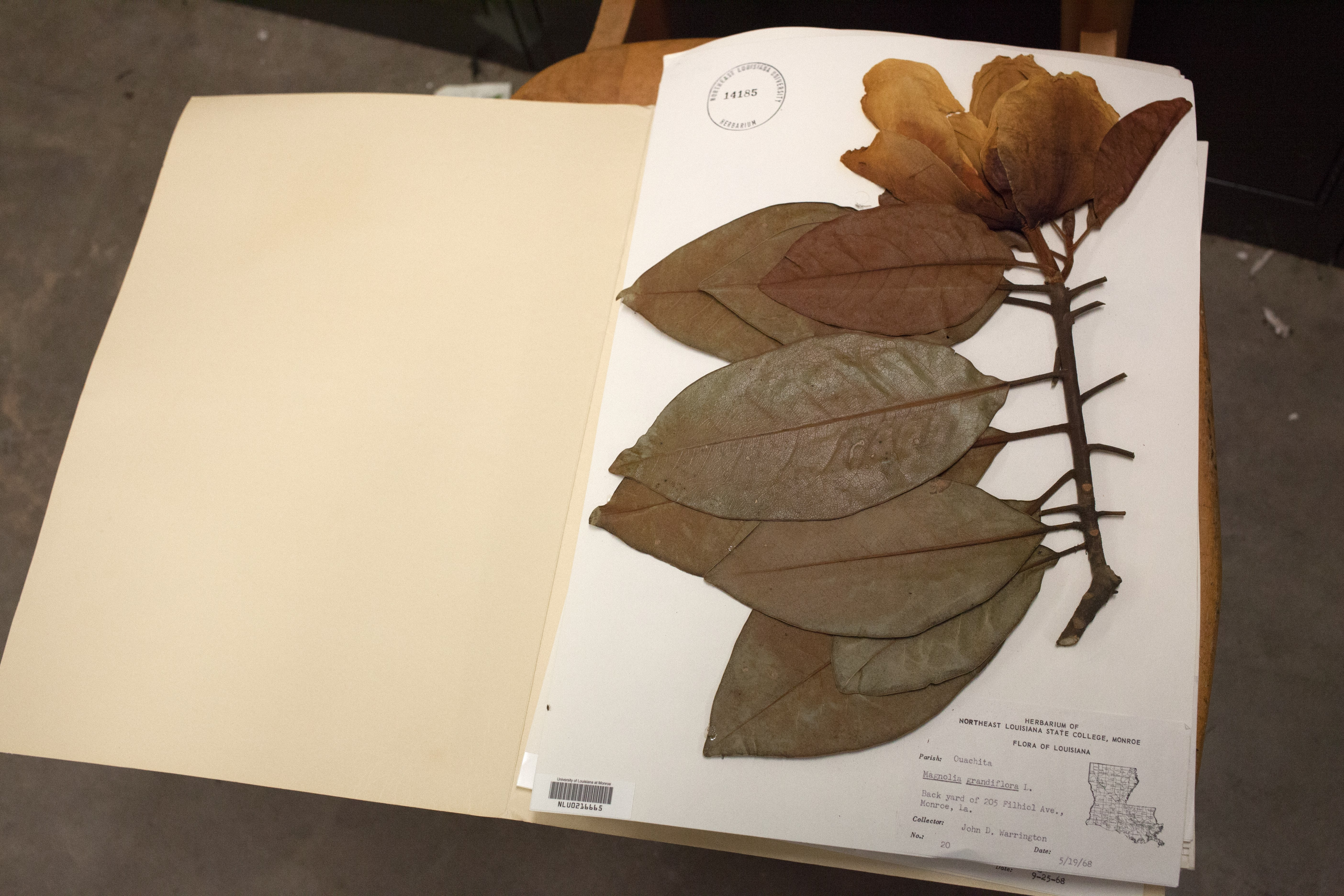 A locally collected magnolia specimen from the ULM herbarium. (Irina Zhorov/The Pulse)