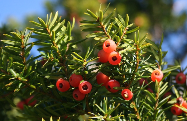 Taxus cuspidata fruits