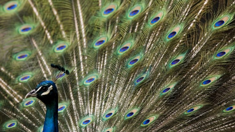A peacock displays its feathers at the Philadelphia Zoo. Mew research on the birds may offer insight on the diagnosis and treatment of  autism, schizophrenia and other human neurodevelopmental disorders. (AP file photo)