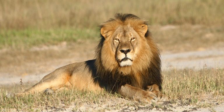 Cecil the lion rests in Hwange National Park in Hwange, Zimbabwe. The animal was killed by an American dentist who lured it into a kill zone. (Andy Loveridge/Wildlife Conservation Research Unit via AP)