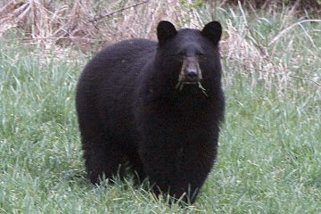 Black bears will be fair game for hunters in designated areas of New Jersey through Saturday. (Toby Talbot/AP Photo)
