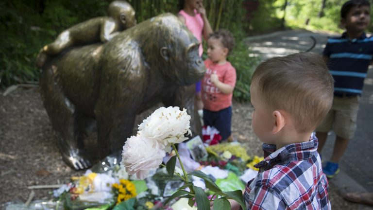 A boy brings flowers to set beside a statue of a gorilla outside the shuttered Gorilla World exhibit at the Cincinnati Zoo & Botanical Garden, Monday, May 30, 2016, in Cincinnati. A gorilla named Harambe was killed by a special zoo response team on Saturday after a 4-year-old boy slipped into an exhibit and it was concluded his life was in danger. (John Minchillo/AP Photo)