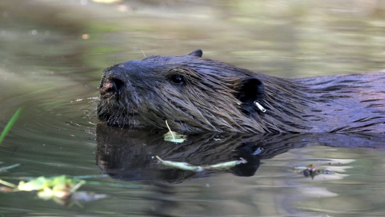 New Jersey lawmakers are considering a series of bills that would expand hunting, including one that would allow more trappers to catch beavers. (AP Photo/Manuel Valdes)