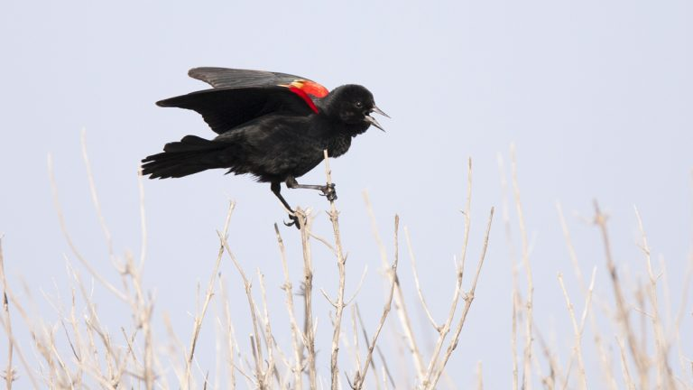 New Jersey officials are trying to determine what killed hundreds of red-winged blackbirds in Gloucester County.(Visceral Image/Bigstock)