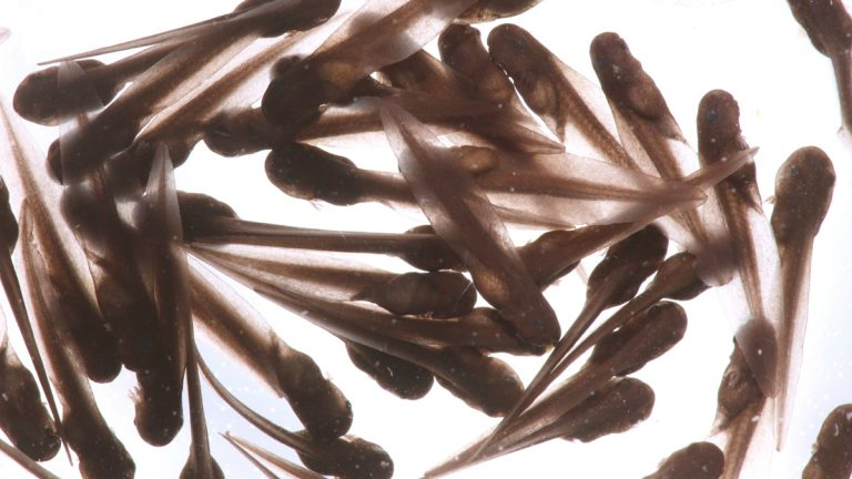 Tadpoles (<a href='https://www.bigstockphoto.com/image-123682742/stock-photo-wood-frog-tadpoles-%28rana-sylvatica%29-a-group-of-tadpoles-%28or-pollywogs%29-is-called-an-army-%0D%0A%2A%2A-note%3A-visible-grain-at-100%25%2C-best-at-smaller-sizes'>Steve Byland</a>/Big Stock Photo)