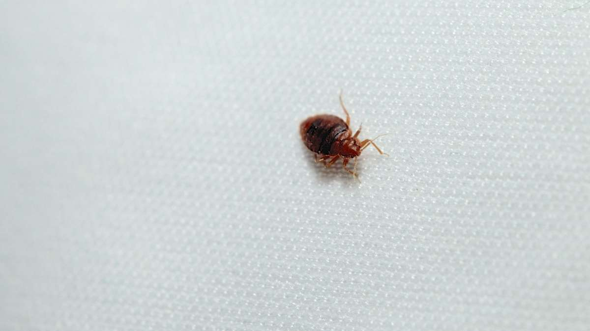 A recently fed male bed bug is found under a mattress during an extermination. (Bas Slabbers, for NewsWorks)