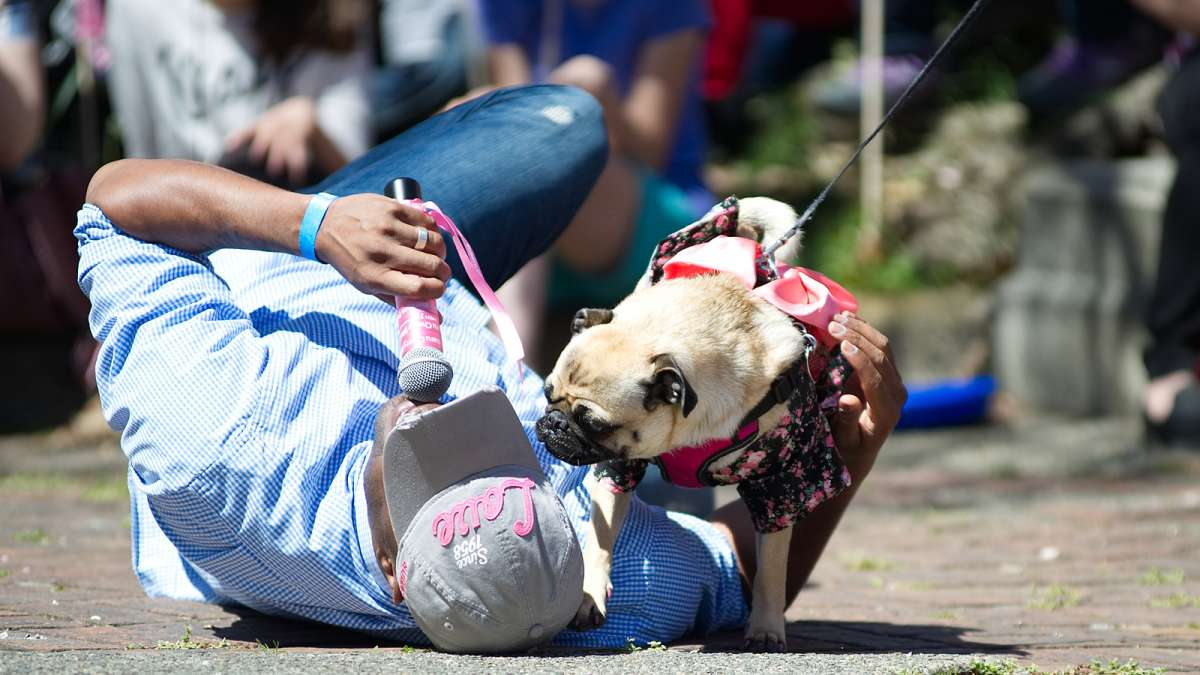 Participating pug with pink paw nails interacts closely with the host during the Prettiest Pet in Pink Parade, one of the Sakura Sunday events during the 20th Annual Subaru Cherry Blossom Festival in Fairmount Park.