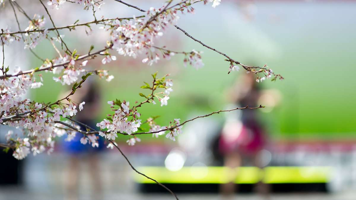Thousands enjoy a celebration of Japanese culture under picture-perfect weather conditions during the 20th annual Cherry Blossom Festival in Fairmount Park on Sunday.