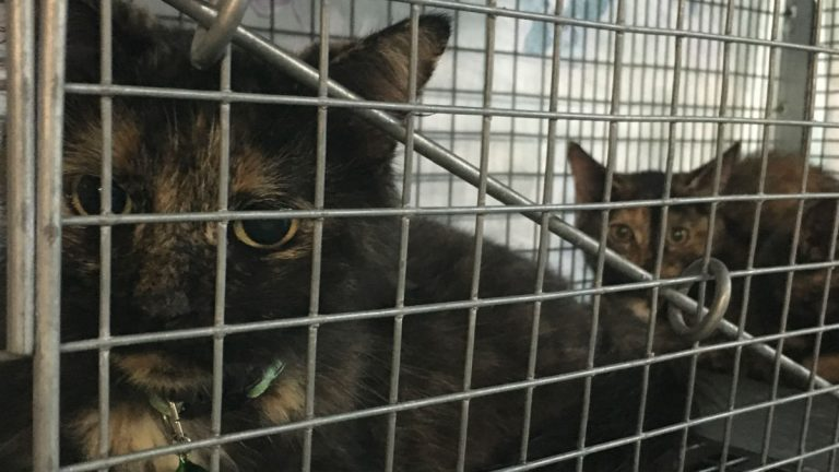 A pair of feral cats await sterilization surgery at Forgotten Cats clinic in Trainer