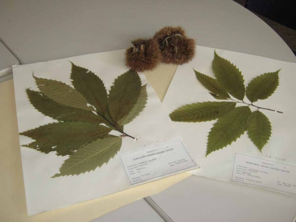<p><p>Dried American Chestnut leaves on file at the Schuylkill Center. (Alaina Mabaso/for NewsWorks)</p></p>