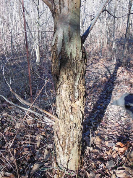 <p><p>Tree canker can be a symptom of blight. (Alaina Mabaso/for NewsWorks)</p></p>