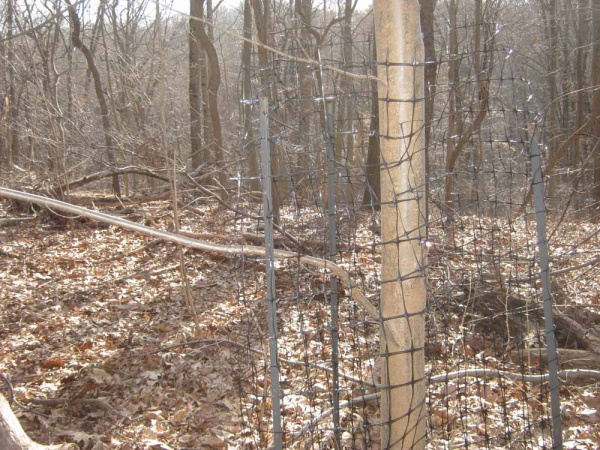 <p><p>One of the site's Chestnut trees is protected by fencing to prevent it fromcontracting the fungus through the wounds left by the antlers of rutting deer. (Alaina Mabaso/for NewsWorks)</p></p>