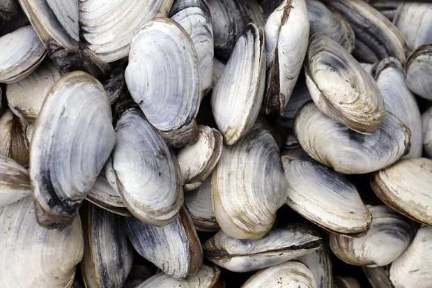Freshly harvested clams. (Public domain image)