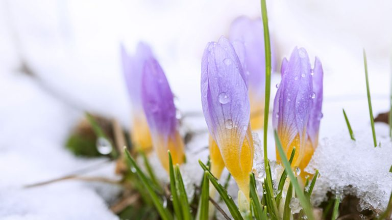 Crocus in the snow-covered garden (Big Stock file photo)
