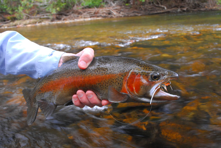 A colorful male rainbow trout. By Zach Matthews [CC BY-SA 3.0 (http://creativecommons.org/licenses/by-sa/3.0)], via Wikimedia Commons